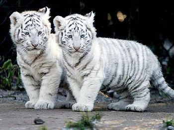 Bb tigre blanc - Photo de tigre a imprimer ...